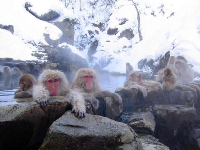 Macaques enjoying an onsen in Jigokudani Monkey Park by Yosemite via Wikipedia CC