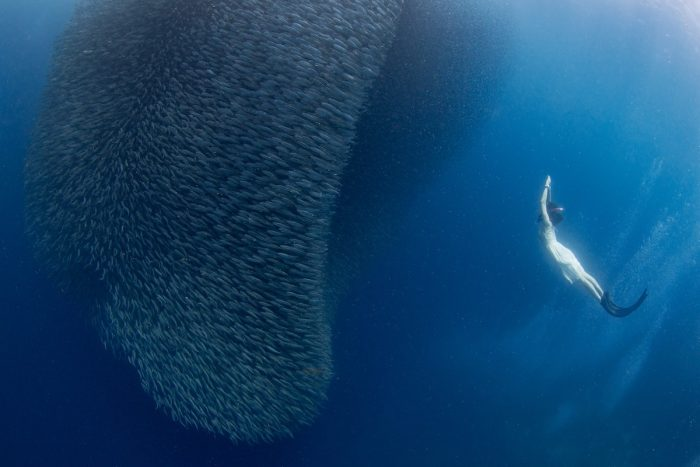 Sardines with a Lady Freediver photo by Jerome Kim