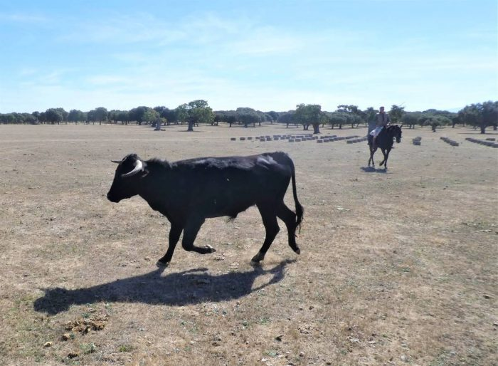 caballero wrangling a reluctant bull back to the herd