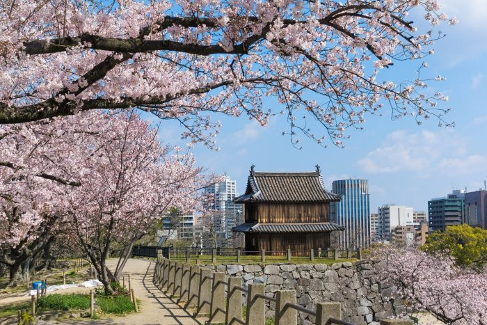 Sakura Blooming At Fukuoka Castle, Japan