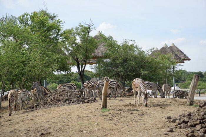 Zebras at the Safari World Bangkok