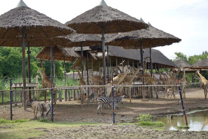 giraffes at Bangkok Safari World Thailand