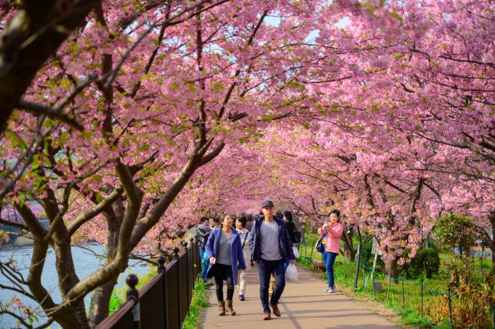 Beautiful Kawazu Sakura Festival , Cherry blossom full bloom in Kawazu prefecture ,Japan.