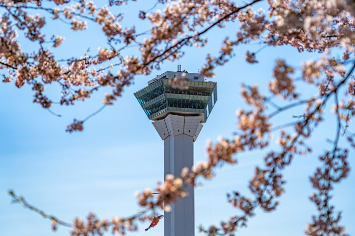 Goryokaku Park Tower in springtime cherry blossom full bloom season sunny day with clear blue sky, the beautiful star shaped fort in Hakodate City