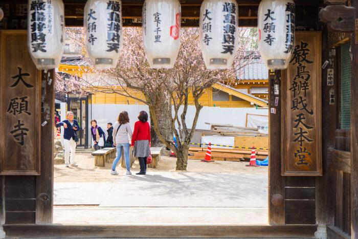 Sakura tree in Itsukushima Shrine, Miyajima, Hiroshima Japan