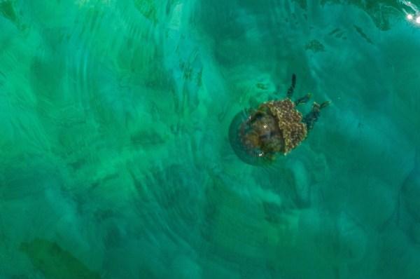 Stingless Jelly Fish