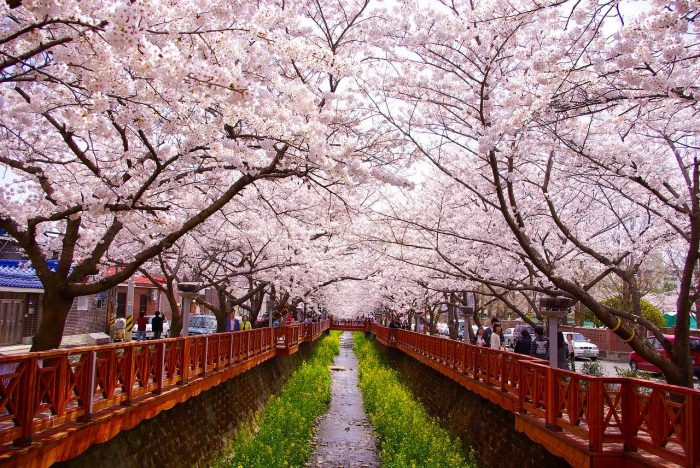 Cherry Blossom in Jinhae South Korea