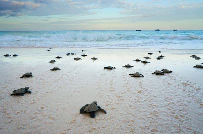 Olive Ridley Turtles for 2020 Hatching in Boracay Island