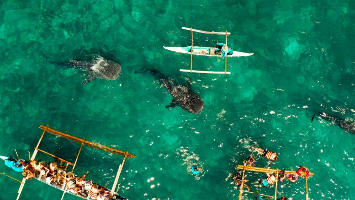 Tourists are watching whale sharks in the town of Oslob, Philippines, aerial view.