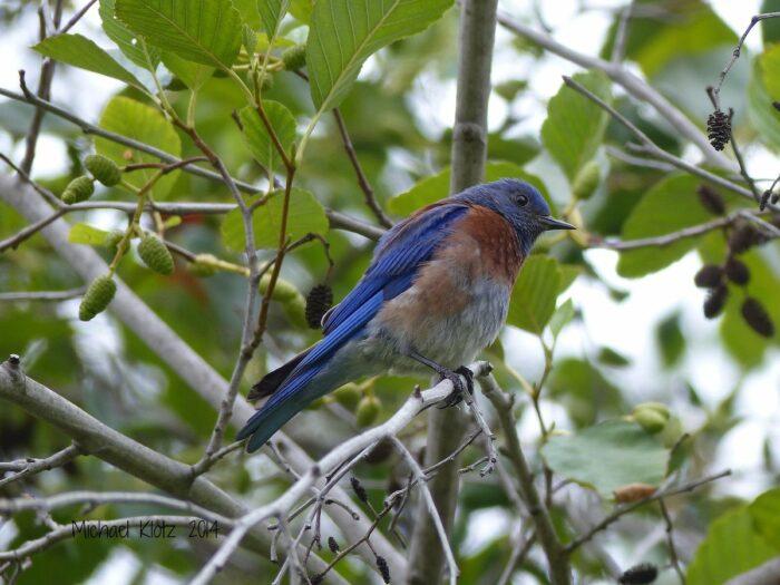 Western Bluebird at Craig Regional Park by Michael Klotz via Flickr CC