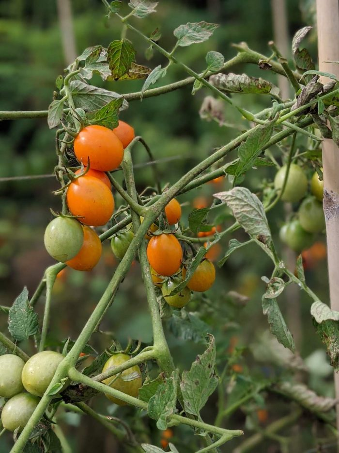 Organic cherry tomatoes ripe for the picking at Our Farm Republic