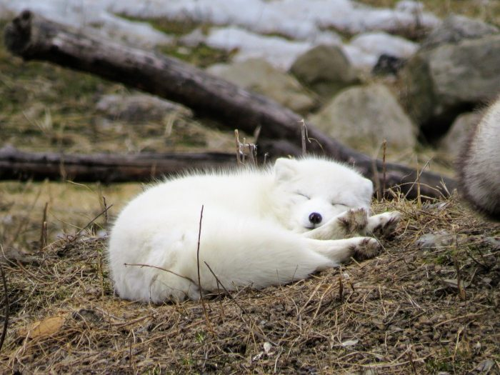 Baby Fox inside Parc Omega in Canada