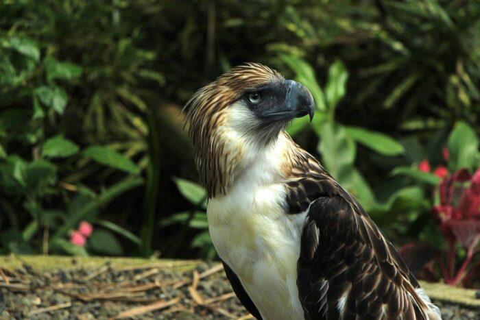Philippine Eagle in Davao City