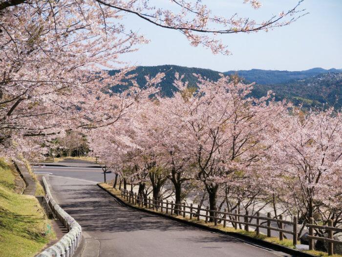 Sakura in Kirishima Kagoshima Japan by @annintofu via Flickr CC