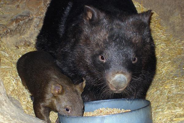 Ballarat Wildlife Park, Ballarat, Australia, wombats by Brian W Schaller via Wikipedia cc