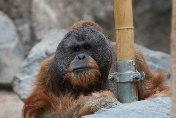 Orangutan at Hagenbeck Zoo