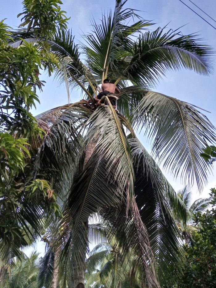 Romblon Coconut farmers