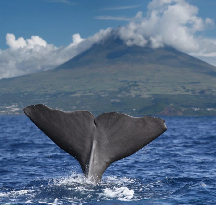 Big fin of a sperm whale in front of volcano Pico, Azores islands via Deposit Photos