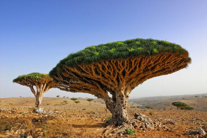 Dragon Blood Tree in Socotra Island photo via Depositphotos