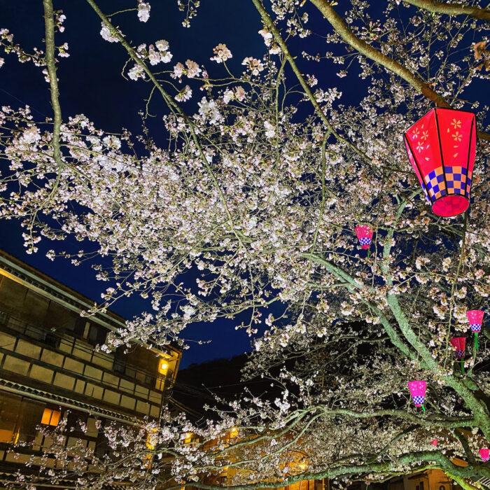 Kinosaki Onsen cherry blossom season at night