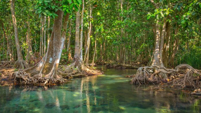 Mangrove Forest Thailand photo via Depositphotos