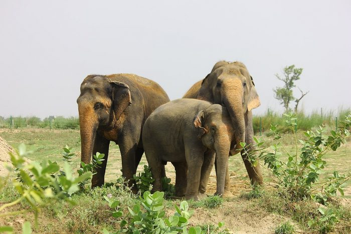 Rescued elephants at the Elephant Conservation and Care Center by Rhealopez168 via Wikipedia CC
