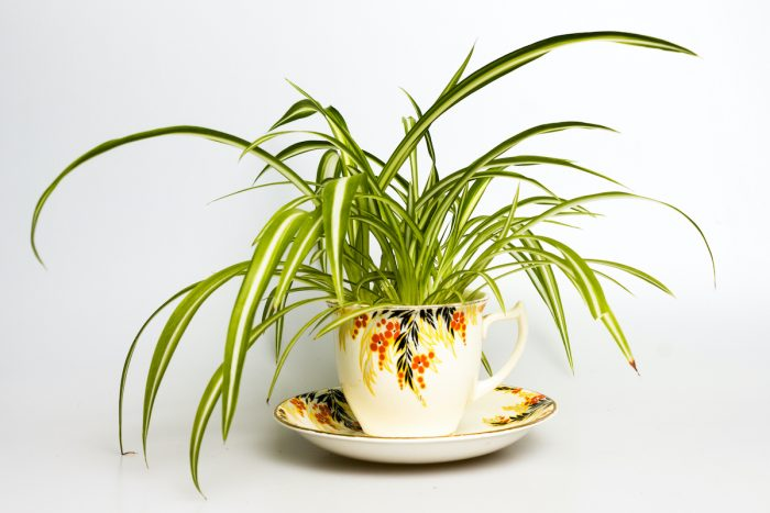 Spider plant in retro tea cup photo via DepositPhotos