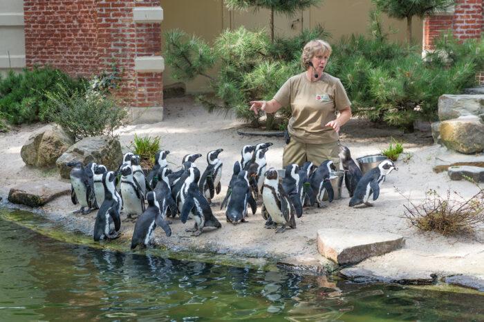 Zoo keeper is feeding penguins in the zoo of Antwerp via Depositphotos