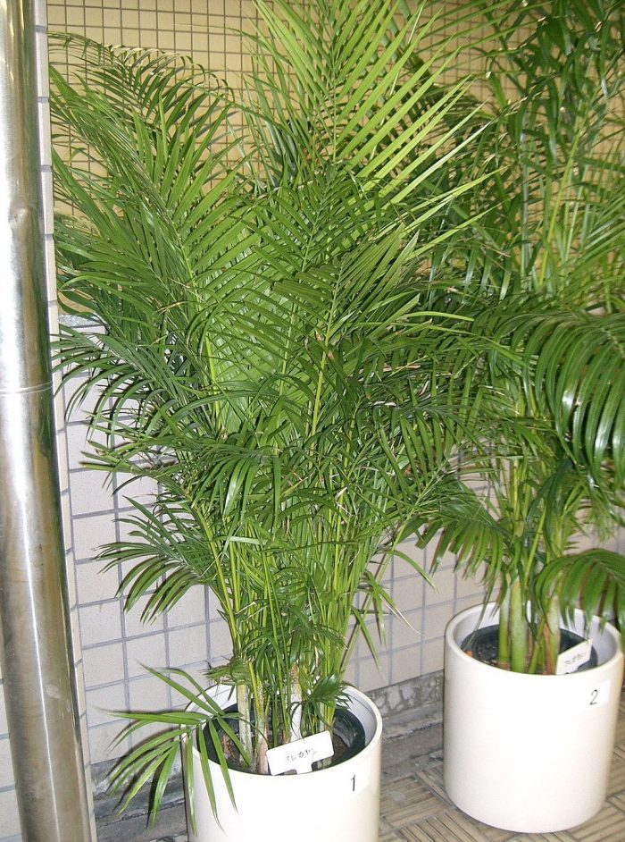 Areca palm photo by Kenpei via Wikipedia CC