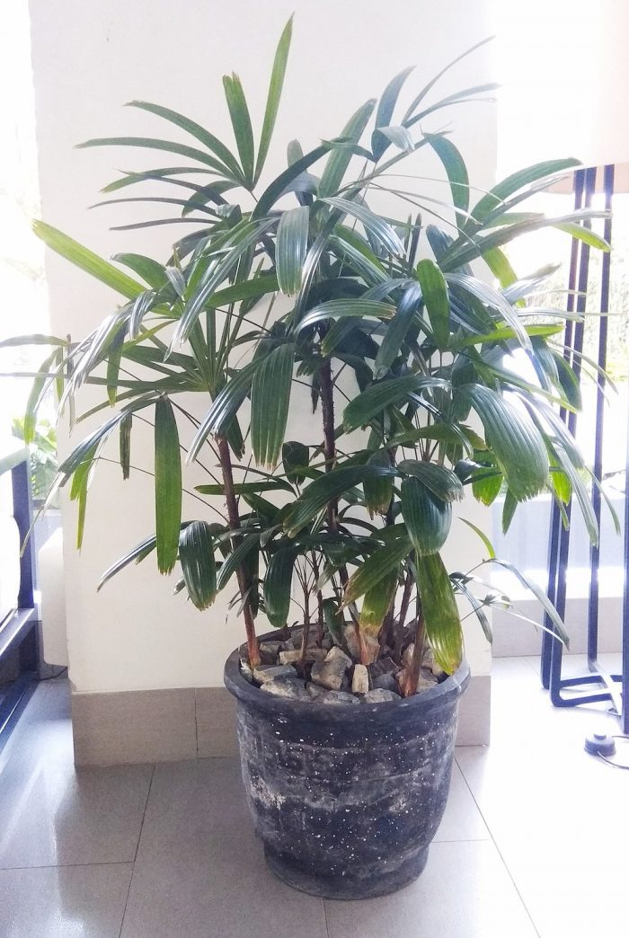 Broadleaf Lady Palm by Aris riyanto via Wikipedia CC