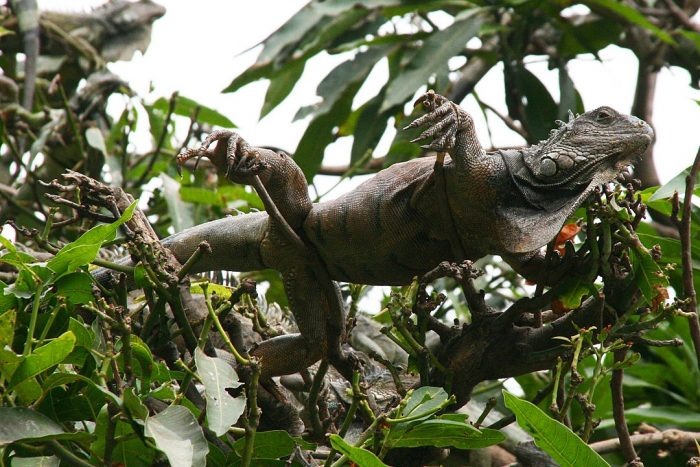 Guayaquil Botanical Garden by Klaus Pumpenmeier via Wikipedia CC