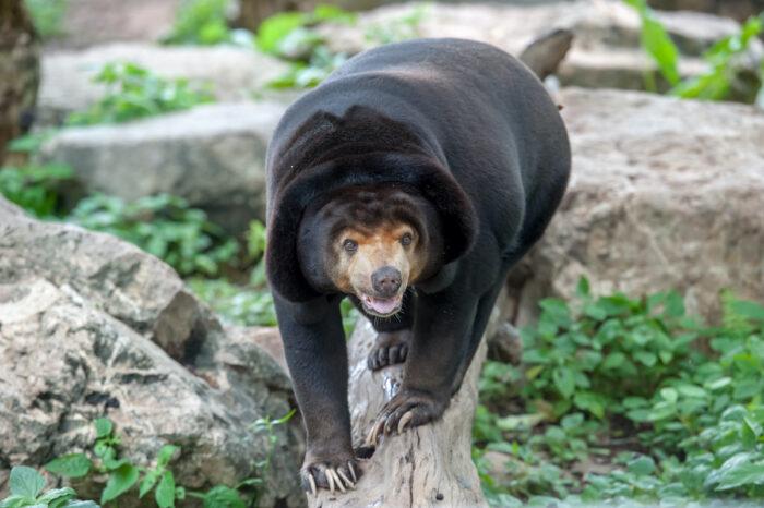 Sun Bear at New Zealand's Wellington Zoo photo via Depositphotos