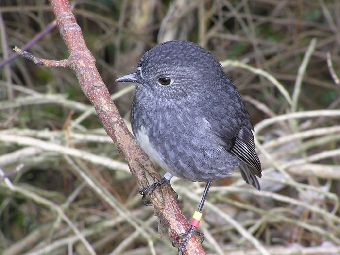 Toutouwai, one of the many birds free to breed in the sanctuary and re-populate the surrounding environment - Zealandia Wellington via Wikipedia CC