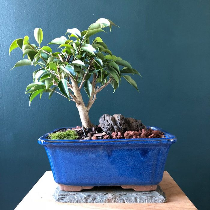 Weeping Fig Indoor Plant by Ron Frazier via Flickr CC