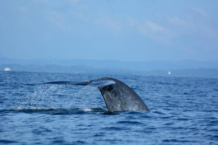 Whale Watching in Mirissa photo via Depositphotos