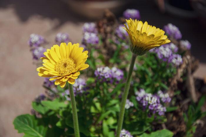 Yellow Barberton Daisy photo via Depositphotos