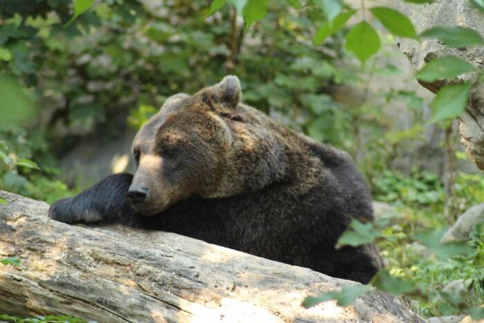 A Brown Bear (scientific name is Ursus Arctos) in Alpine Zoo photo via Depositphotos