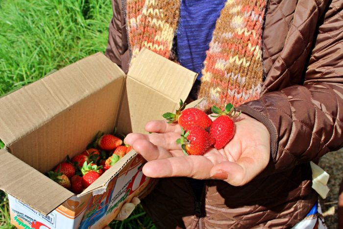 Bauko Mountain Province Strawberry Farm