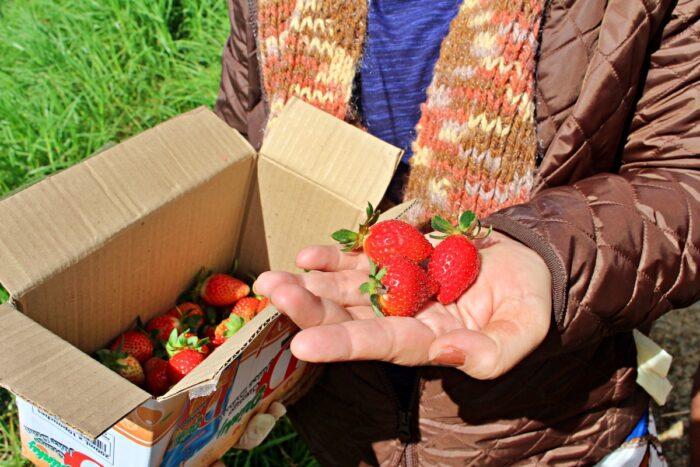 Granja de fresas de la provincia de la montaña de Bauko