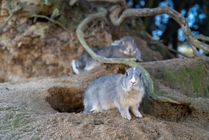Cute wild rabbits on Okunoshima ( Rabbit Island ) via Depositphotos