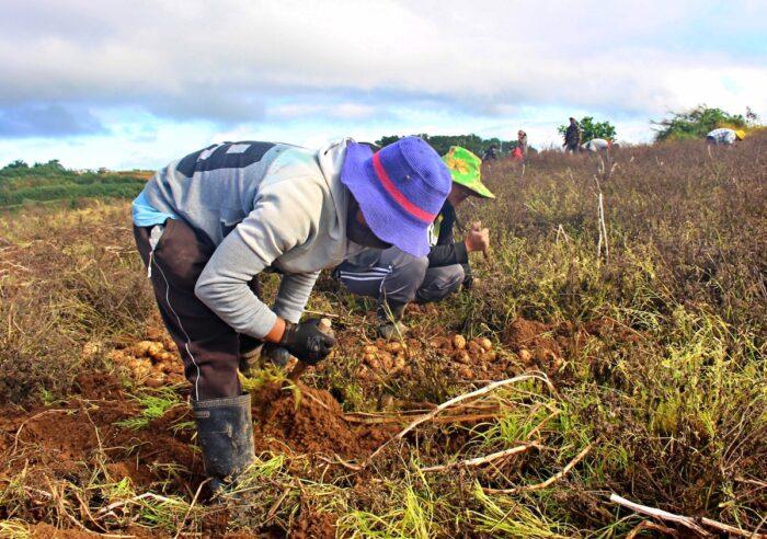 Cosecha de patatas - Provincia de la montaña de Bauko
