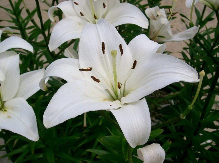 Lilies photo by Kenpei via Wikipedia CC