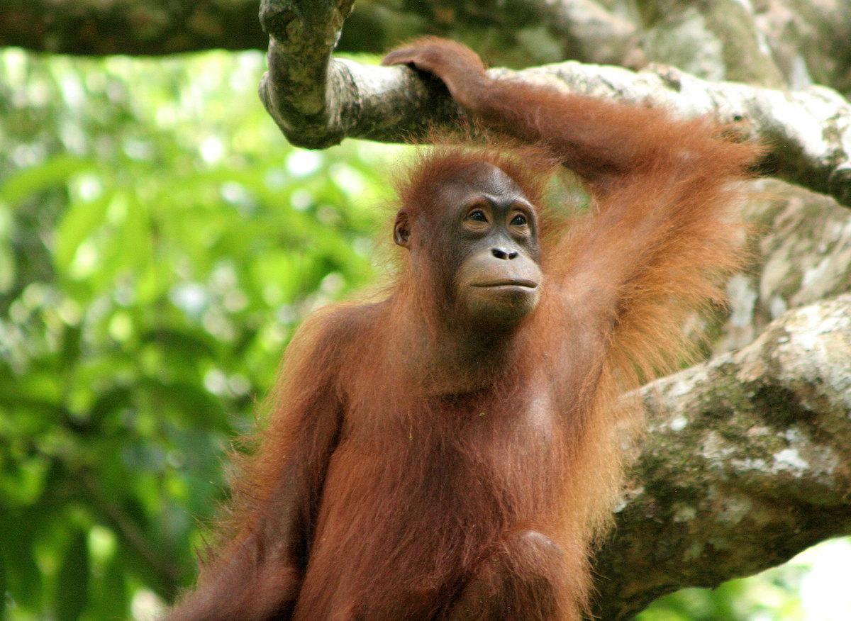 Sepilok Orangutan Rehabilitation Centre by LouiseGoggin via Flickr CC