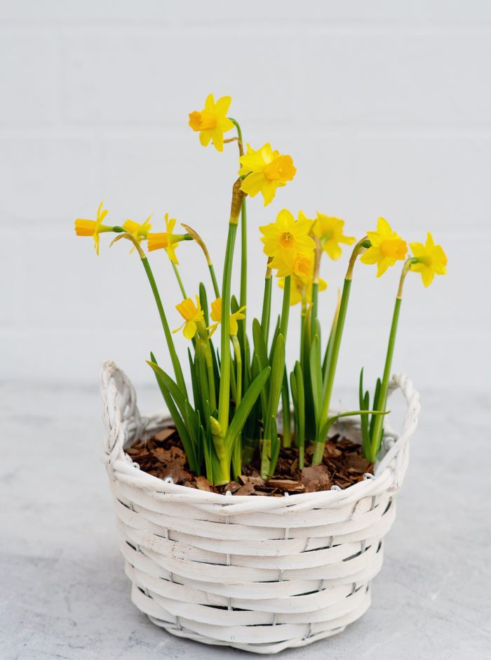 Spring flower pot of daffodils Photo via Depositphotos