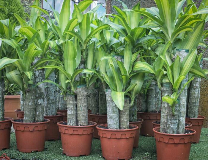 Dracaena Fragrans plant aka Fortune Plant photo via Depositphotos