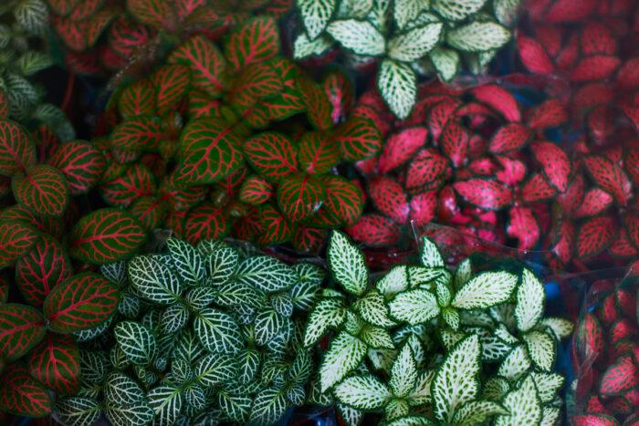 Fittonia Plant photo via Depositphotos