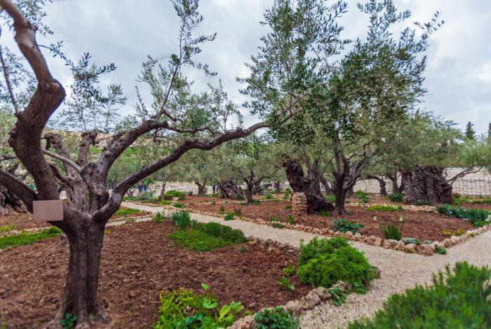 Gethsemane Garden at Mount of Olives, Jerusalem