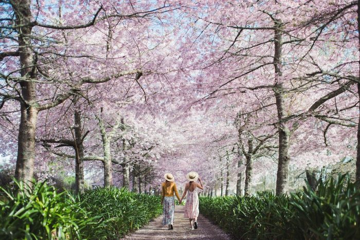 Waikato Cherry Blossom Festival photo via FB Page