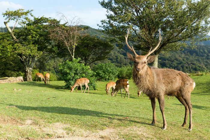 Deers grazing in Mount Wakakusa photo via Depositphotos