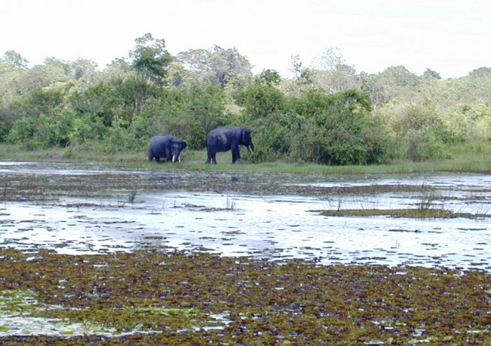 Elephants in the Way Kambas Conservation Centre by Michael Tanadi via Wikipedia CC